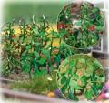 Busch Cucumbers & Tomatoes 1214